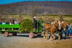 Amish kvinna med vagnen på trädlantgården Fotografering för Bildbyråer