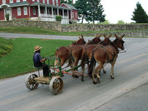 Amish man driving buggy Stock Photography