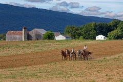 Amish man som brukar jord med ett lag av hästar Royaltyfria Bilder