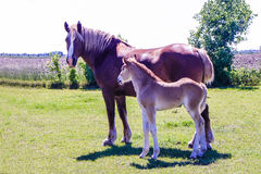 Amish Mare and Foal. A beautiful mare with her foal on an Amish farm royalty free stock photos