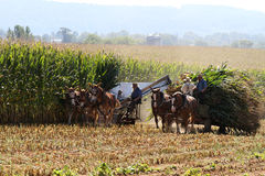 Amish Men Harvesting Corn. LANCASTER, PENNSYLVANIA, USA - SEPTEMBER 23, 2014: Pennsylvania Dutch Amish men use horse-drawn wagons to harvest corn in the farming stock photography