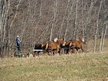 Amish plowing field in spring royalty free stock photo