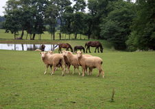 Amish Sheep And Horses Stock Image