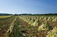 Amish Tobacco Drying Stock Photos