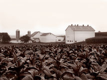 Amish tobacco farm. A tobacco farm with white farmhouse and outbuildings in Lancaster County, Pennsylvania Stock Image