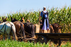 Amish Woman on Corn Wagon Royalty Free Stock Photography