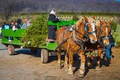 Amish Woman Drives Wagon at Christmas Tree Farm Royalty Free Stock Photo