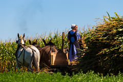 Amish Woman Steers Corn Wagon. Witmer, PA - September 12, 2016: An Amish woman drives a team of mules on a wagon in a corn field in Lancaster County royalty free stock photo