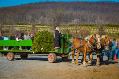 Amish Woman with Wagon at Tree Farm Stock Image