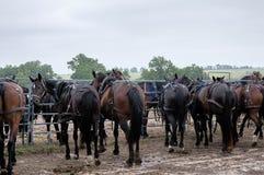 Amishpaarden met fouten Stock Foto's