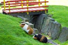 Amistad agradable de la fauna del conejillo de Indias del parque zoológico animal del animal doméstico Imagen de archivo libre de regalías