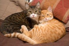 Amistad de los dos gatos Imagen de archivo libre de regalías