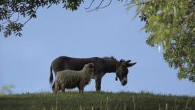 Amistad del burro y de las ovejas, animales en la colina verde almacen de video