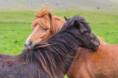 Amistad del caballo Fotos de archivo libres de regalías