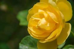 Amistad Rose Fotografía de archivo libre de regalías