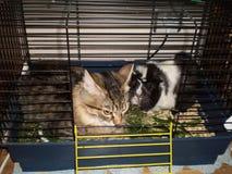 amitié d'un chat et d'un cobaye Images stock