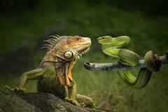 Amitié dangereuse d'iguane et du serpent photographie stock libre de droits