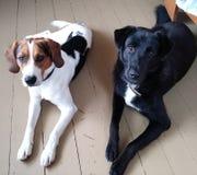Amitié de chien Photo libre de droits