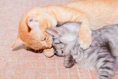 Amitié de deux chats orange et grise sur le plancher photos stock