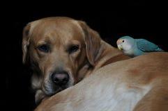 Amitié de perroquet et d'un chien Photo libre de droits