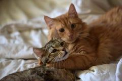 Amitié des deux chats Photographie stock libre de droits