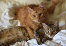 Amitié des deux chats Photo libre de droits