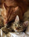 Amitié des deux chats Photographie stock