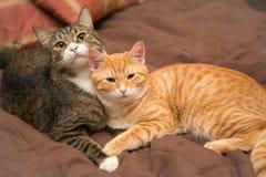 Amitié des deux chats Images libres de droits
