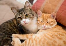 Amitié des deux chats Photo stock