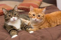 Amitié des deux chats barrés Image libre de droits