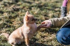 Amitié entre le chien humain et petit, secouant la main et la patte Image stock