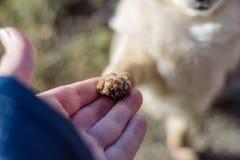 Amitié entre le chien humain et petit, secouant la main et la patte Photos libres de droits
