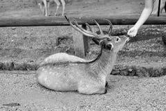 Amitié entre le touriste et les cerfs communs à Nara Photographie stock