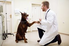 Amitié entre le vétérinaire et le chien Image stock