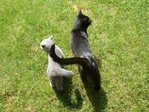 Amitié entre les chats Image libre de droits