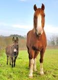 Amitié entre un âne et un cheval Photographie stock