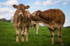 Amizade de duas vitelas na natureza imagens de stock royalty free