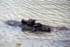 Amizade dos búfalos Imagem de Stock Royalty Free