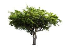 Amla Fruit tree isolated Stock Images