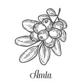 Amla Indian gooseberry plant, Phyllanthus emblica. Hand drawn engraved vector sketch etch illustration. Ingredient for hair and bo Stock Image