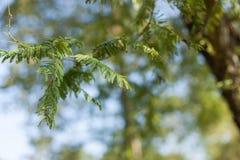 Amla (Phyllanthus emblica) leaves Royalty Free Stock Photography
