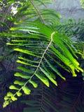 amla roślina Zdjęcie Stock