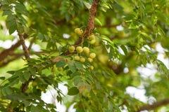 Amla zbliżenia drzewna zieleń zdrowa zdjęcia stock
