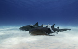 Ammenhai Unterwasser Lizenzfreies Stockbild