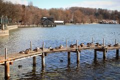 Ammersee lake, mallards on wooden jetty. Winter view of Ammersee, Bavarian lake near Munich: coastline and wooden jetty full of mallards crouched down in the sun Royalty Free Stock Images