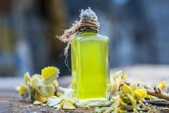 Ammi de Trachyspermum, huile d'Ajwain avec des feuilles sur un fond de jute Images libres de droits