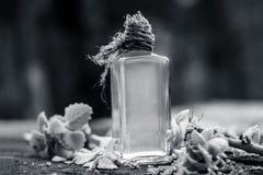 Ammi de Trachyspermum, huile d'Ajwain avec des feuilles sur un fond de jute Photos stock
