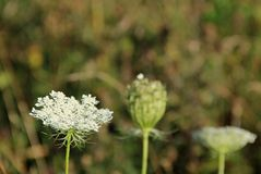 Ammi majus Stock Photos
