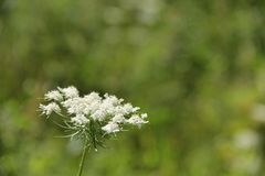 Ammi majus Royalty Free Stock Photo