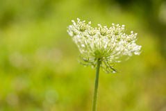Free Ammi Majus, Queen Anne S Lace On A Green Background. Stock Photography - 63125682